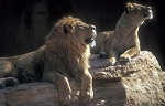 lion-pair-looking-up