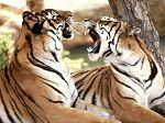 Sumatran tiger pair