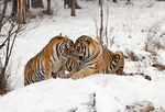 Amur Tigers in Snow
