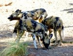 african wild dog pack