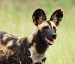 African Painted dog portrait