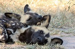 African wild dogs napping