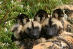 African wild dog group