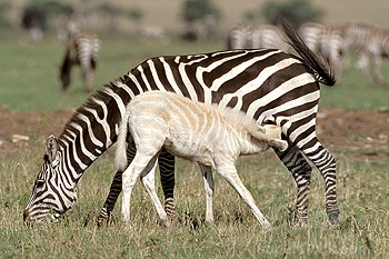baby golden zebra