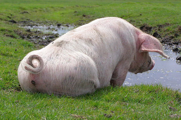 Pig Facts Animal Facts Encyclopedia