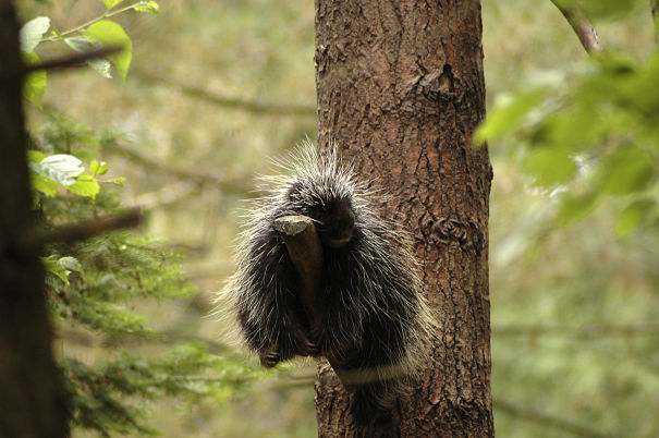 Porcupine Facts Animal Facts Encyclopedia