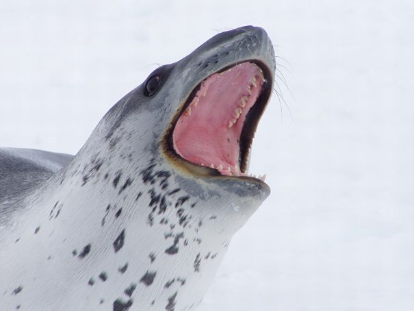 threatening leopard seal