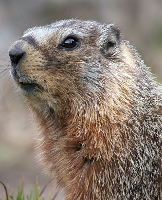 animalfactsencyclopedia-Groundhog portrait