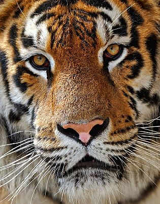 animalfactsencyclopedia-tiger-facts