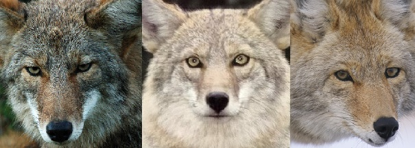 coyote faces