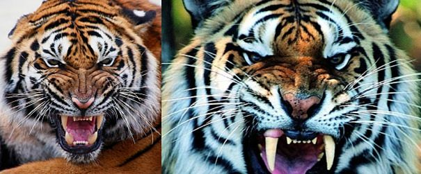double tiger snarls