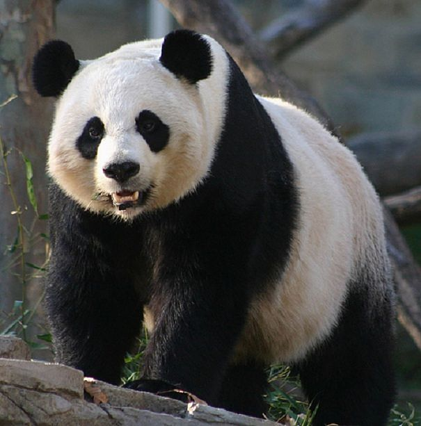Giant Panda Facts - Animal Facts Encyclopedia - photo#14
