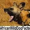 see African wild dog facts/cape hunting dog facts