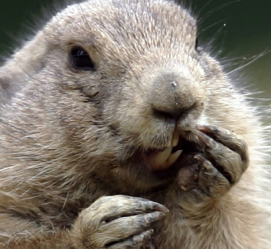 Animal Extreme Close-ups -Groundhog