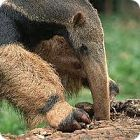 Anteater facts