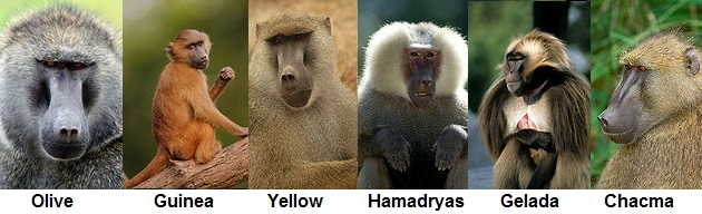 baboon species