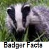 go to badger facts