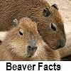 see beaver facts