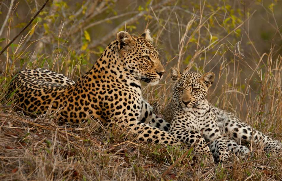 leopardess and cub