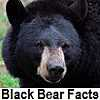 go to black bear facts