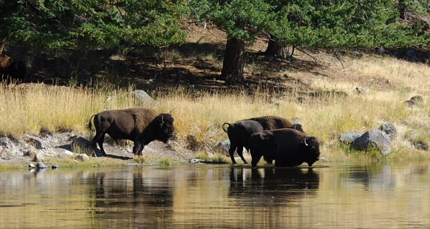bison in river