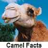 check out camel facts