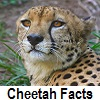 explore cheetah facts
