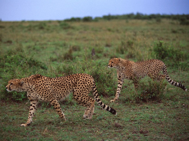 cheetah coalition