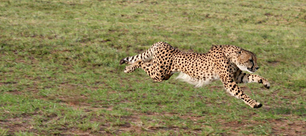 full speed cheetah
