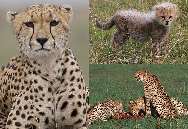 cheetah mother and babies