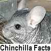 go to chinchilla facts