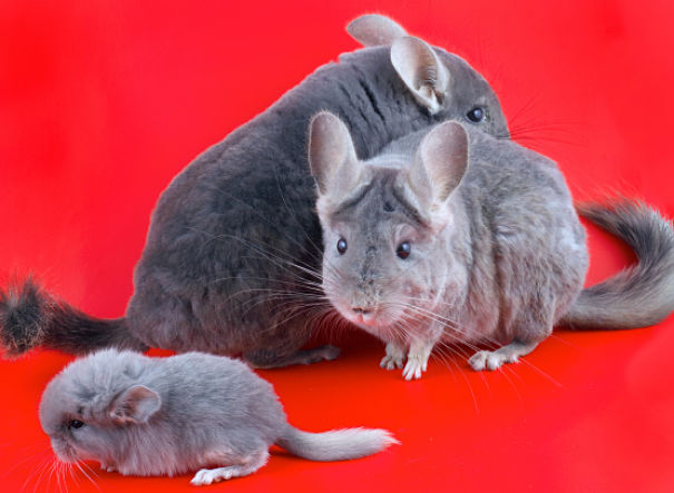 Chinchilla Facts - Animal Facts Encyclopedia
