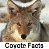 see coyote facts