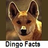 explore dingo facts