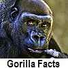 check out gorilla facts