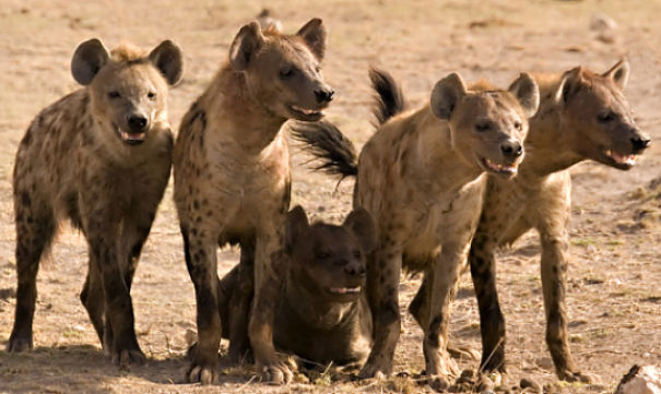male lions fighting hyenas