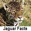 go to jaguar facts