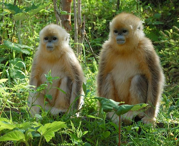 Chinese yellow monkeys