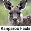 see kangaroo facts