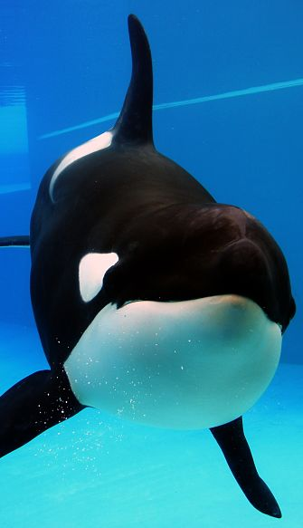 Killer Whale Facts - Animal Facts Encyclopedia
