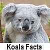 check out koala facts