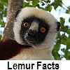 see lemur facts