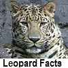explore leopard facts