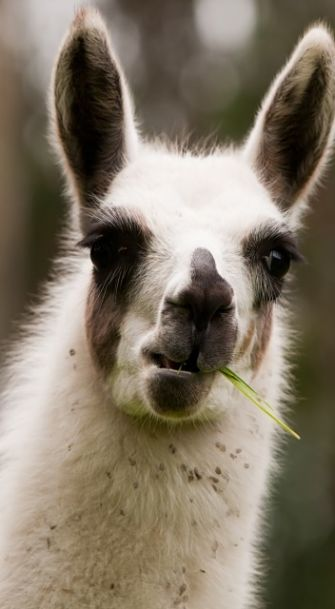 Llama Facts - Animal Facts Encyclopedia