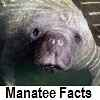 explore manatee facts