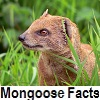 see mongoose facts