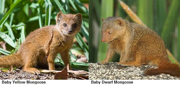 mongoose babies