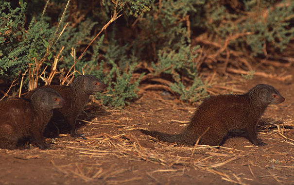 dwarf mongoose band