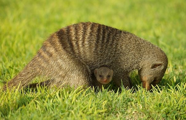 mongoose mother and baby
