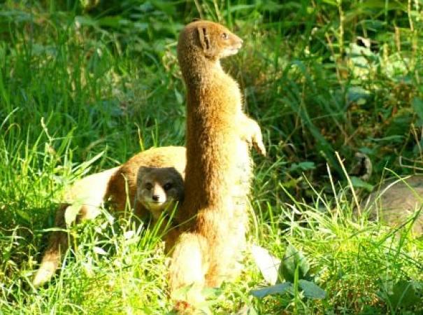 yellow mongoose pair
